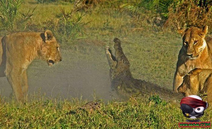 نمور تاكل تمساح