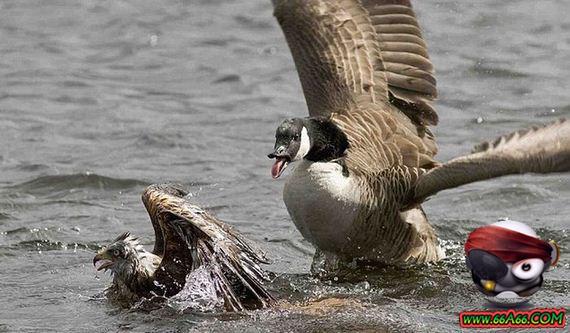 صقر أراد الصيد فدفع الثمن غاليا 66a66.com-4b9edd0f78
