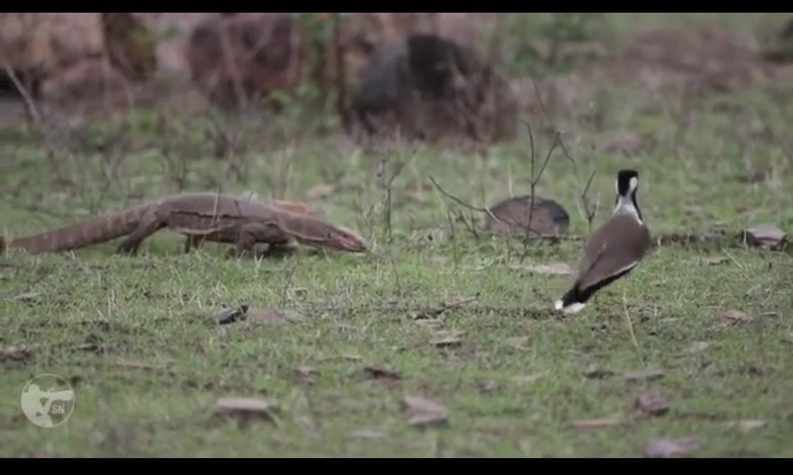 طيور القطقاط وهي تدافع  بشكل جماعي عن اعشاشها من ورل بنغالي كان يبحث عن البيض والفراخ